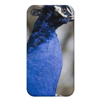 Peafowl iPhone 4 Case