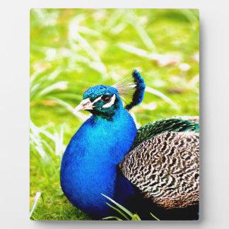 peafowl peacock bird peace calm joy photo plaque