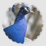 Peafowl Stickers