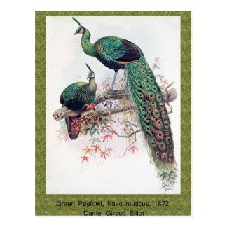Peafowl verde, muticus del Pavo, monografía 1872 Postal