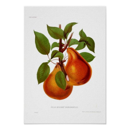 Pear Beurre Durondeau Poster