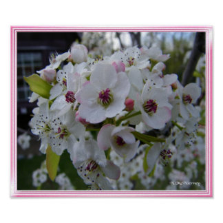 Pear Blossoms Print