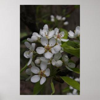 Pear Blossoms print
