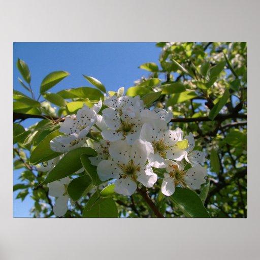 Pear Blossums Print