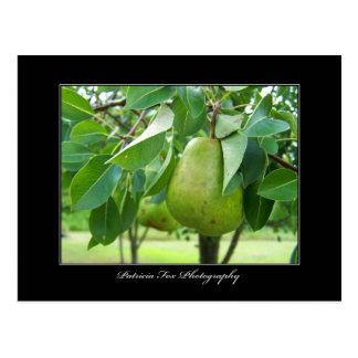 Pear - Post Card