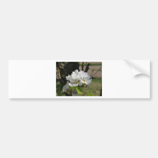Pear tree branches with blossoms in Tuscany, Italy Bumper Sticker
