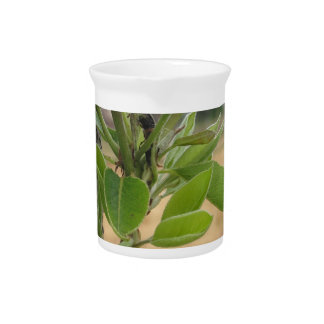 Pear tree twig with buds in spring  Tuscany, Italy Beverage Pitcher