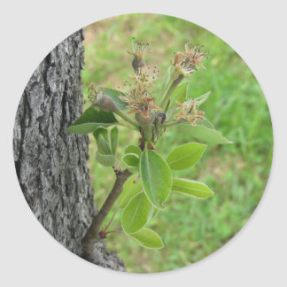 Pear tree twig with buds in spring  Tuscany, Italy Classic Round Sticker