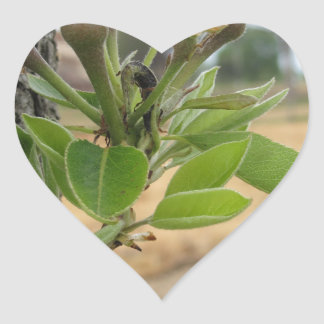 Pear tree twig with buds in spring  Tuscany, Italy Heart Sticker