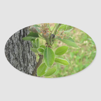 Pear tree twig with buds in spring  Tuscany, Italy Oval Sticker