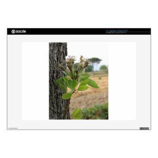Pear tree twig with buds in spring  Tuscany, Italy Skin For Laptop