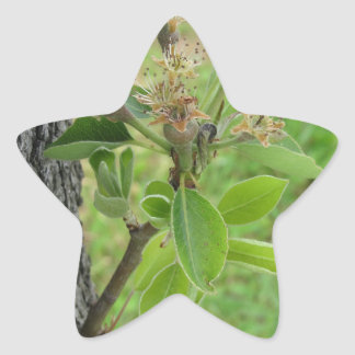 Pear tree twig with buds in spring  Tuscany, Italy Star Sticker