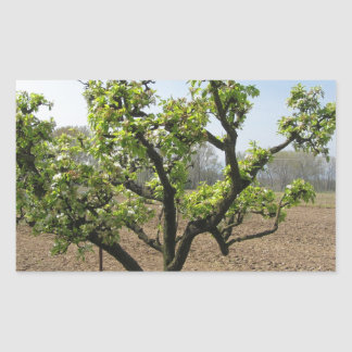 Pear tree with blossoms in a sunny day rectangular sticker