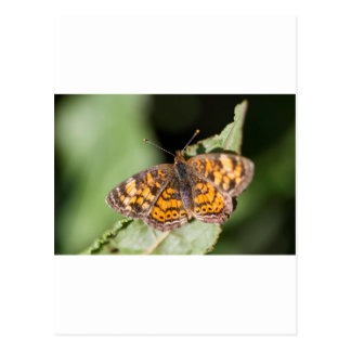 Pearl Cresent Butterfly- Phyciodes tharos Postcard