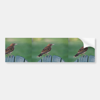 Pearly-eyed Thrasher (Puerto Rico) Bumper Stickers