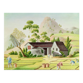 Peasants in the Paddy Fields Postcard