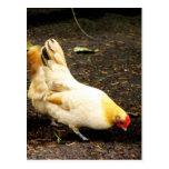 Peck de la gallina tarjetas postales