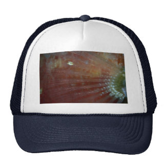 Pectoral fin of the redband parrotfish trucker hat