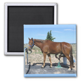 Pedicure del caballo de Tennessee que camina - hum Imán Cuadrado