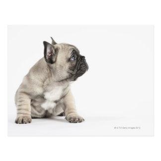 Pedigree puppy postcard