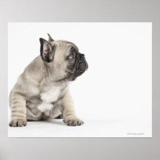 Pedigree puppy poster