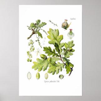 Pedunculata del quercus: syn. Q robur. (Roble ingl Póster