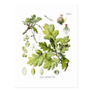 Pedunculata del quercus: syn. Q robur. (Roble ingl Tarjeta Postal