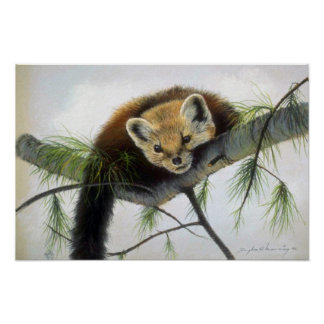 Peek-a-boo, Pine Marten Print