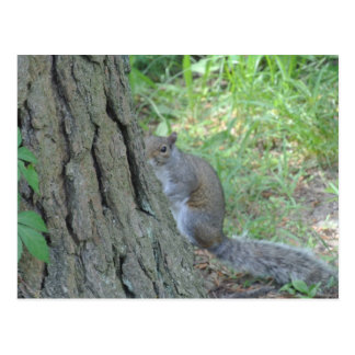 Peek A Boo Squirrel - Postcard