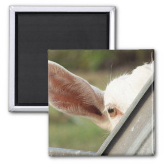 Peek a boo white goat! Cute goat waiting picture 2 Inch Square Magnet