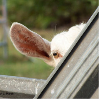 Peek a boo white goat! Cute goat waiting picture Photo Sculpture Magnet