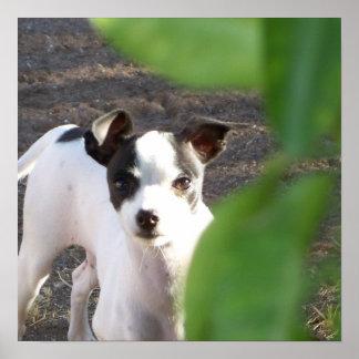 Peekaboo, Chihuahua Greyhound 15x15 Poster Print