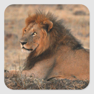 Pegatina africano del león