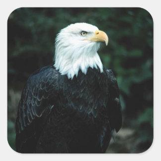 Pegatina cuadrado calvo americano de Eagle