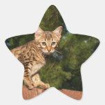 Pegatina de la estrella del gato de la sabana