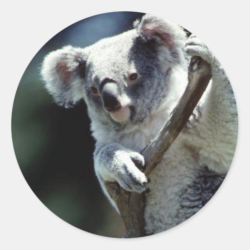 Pegatina de la koala