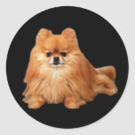 Pegatina de Pomeranian