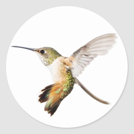 Pegatina de sexo femenino del colibrí de Allen
