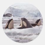 Pegatina de Spyhopping de las orcas