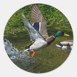 Pegatina del despegue del pato silvestre