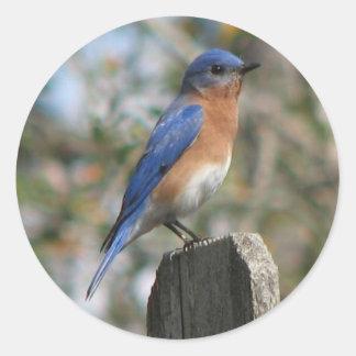 Pegatina del este del varón del Bluebird