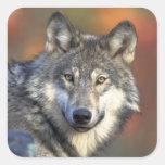 Pegatina del lobo gris (cuadrado)
