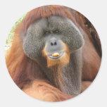 Pegatina del mono del orangután del Pongo
