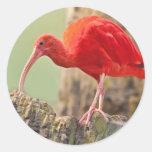 Pegatina del pájaro de Ibis del escarlata