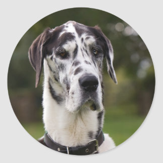 Pegatina del retrato del perro de great dane,