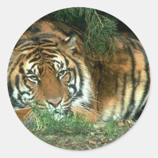 Pegatina del tigre de Bengala