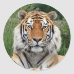 Pegatina hermoso principal de la foto del tigre, p