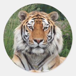 Pegatina hermoso principal de la foto del tigre p