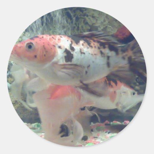 Pegatina redondo de Koi de los pescados