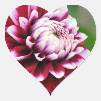 Pegatina rojo de la flor de la dalia